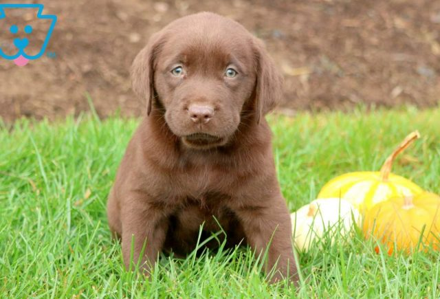 Striker Chocolate Lab 1