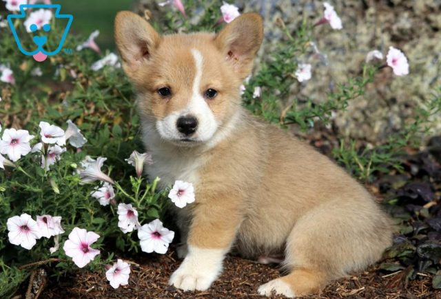 Ted Welsh Corgi