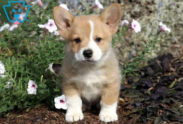 Ted Welsh Corgi2