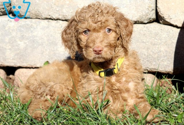 Belle Goldendoodle2