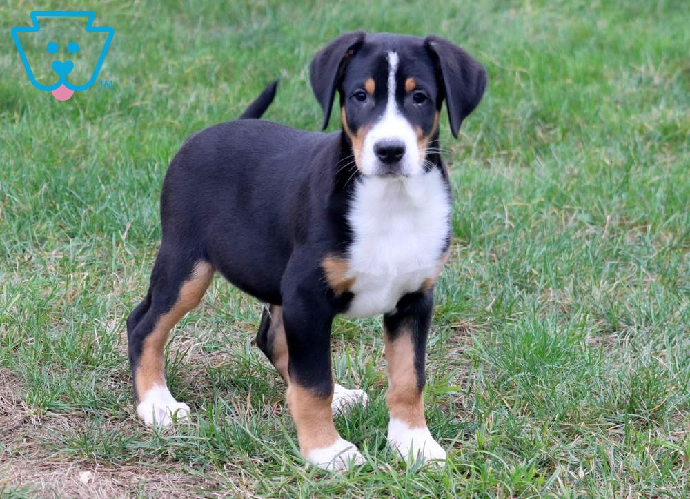 Bobo Greater Swiss Mountain Dog Puppy For Sale Keystone