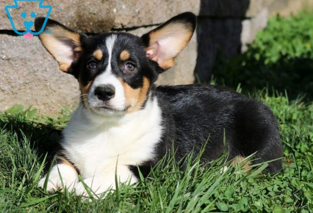 Charlie Brown Welsh Corgi