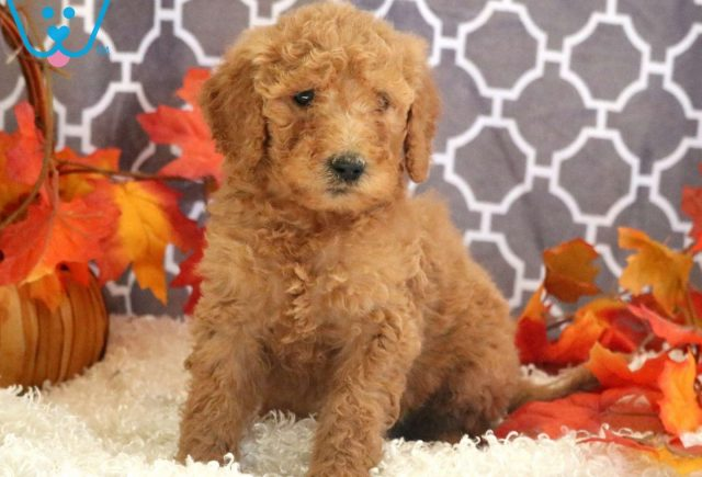 Cuddles Goldendoodle