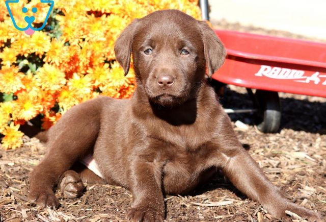Dandy Choc Lab2