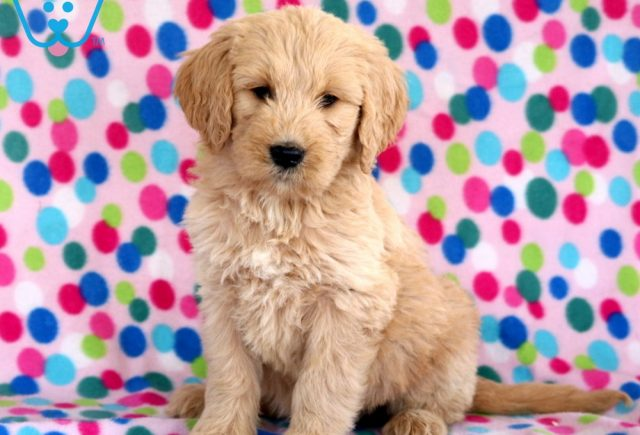 Libby Goldendoodle