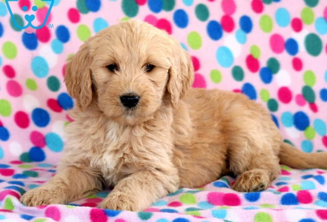 Libby Goldendoodle2
