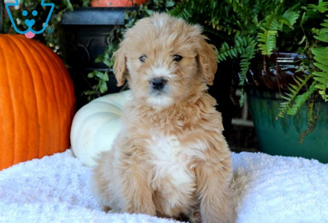 Pretty Goldendoodle