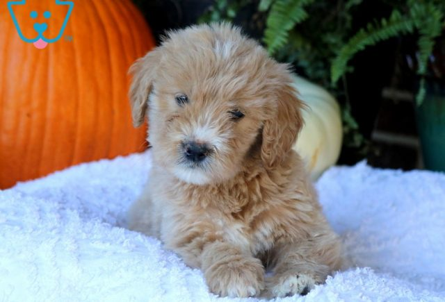 Pretty Goldendoodle2