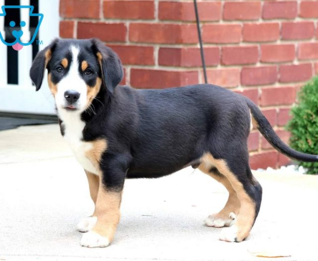Greater Swiss Mountain Dog Puppies For Sale Puppy Adoption