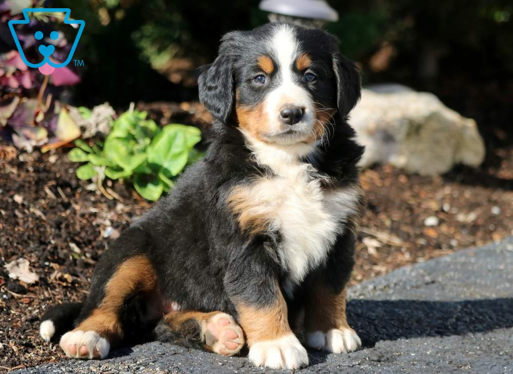 Tilly Bernese Mountain Dog Puppy For Sale Keystone Puppies