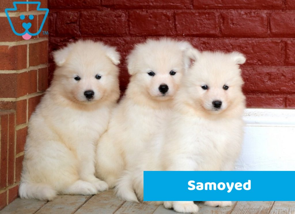 Samoyed puppies for sale from PA
