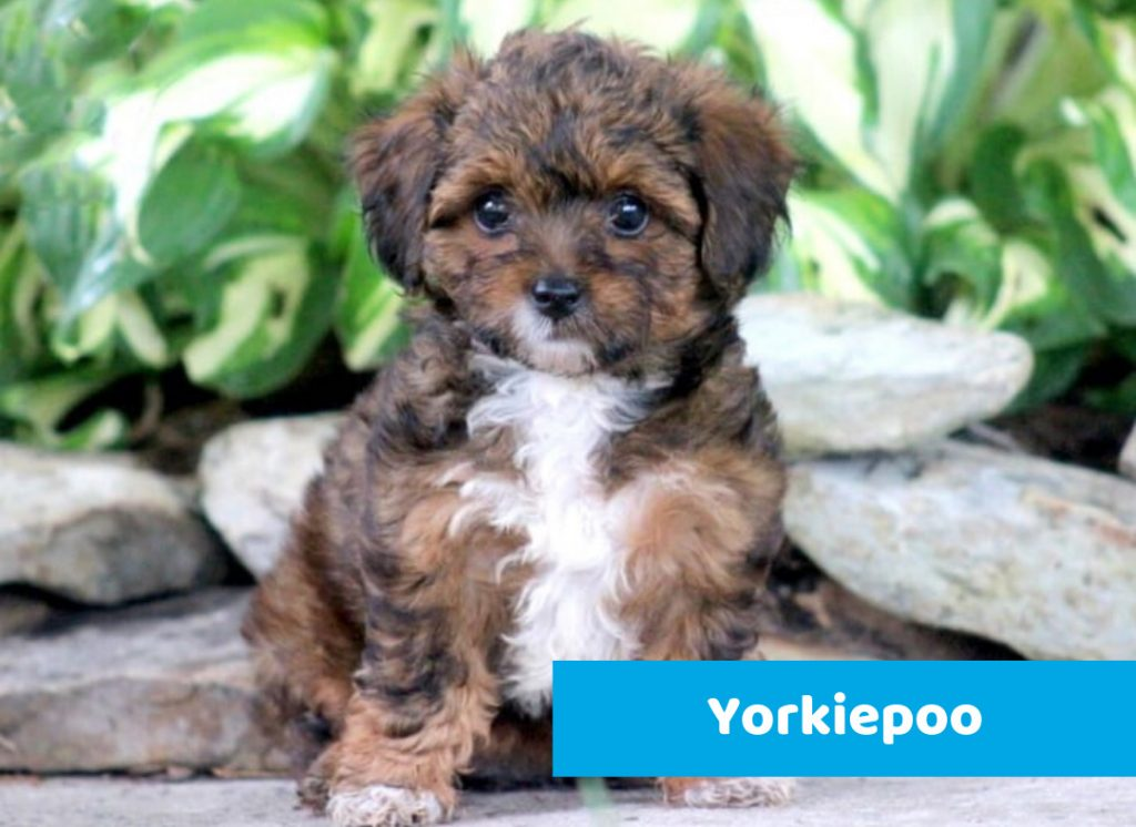 Yorkiepoo puppy available for sale