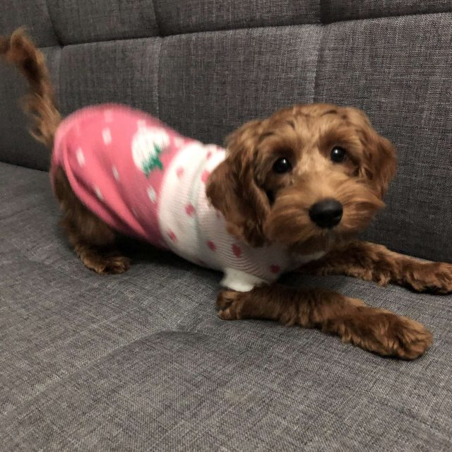 Update on cockapoo puppy