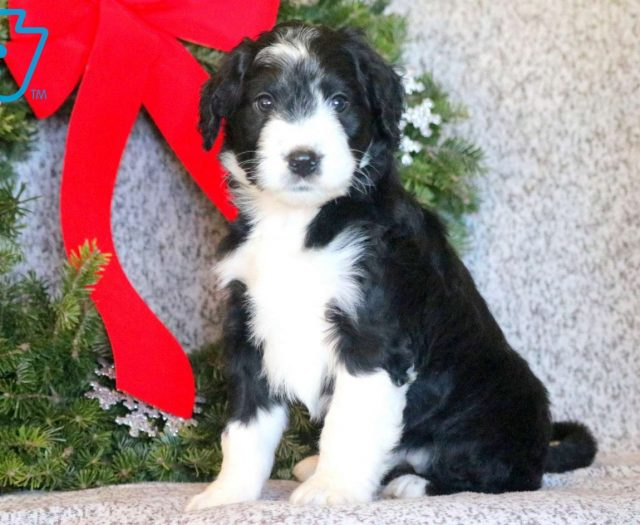 Bernedoodle Puppies For Sale Puppy Adoption Keystone Puppies