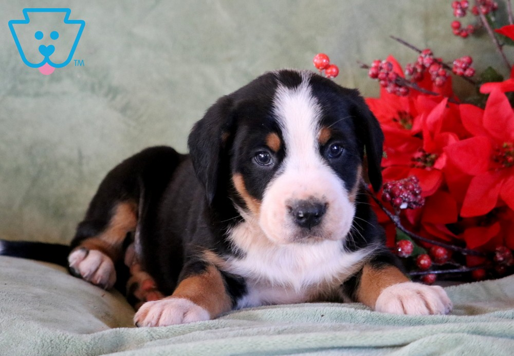 Cooper Greater Swiss Mountain Dog Puppy For Sale