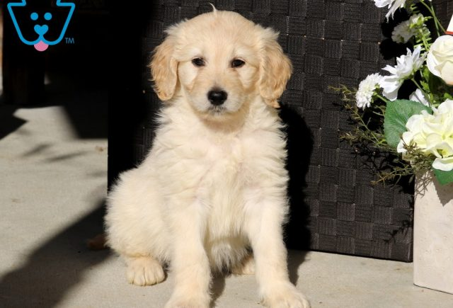 Daisy GOldendoodle2