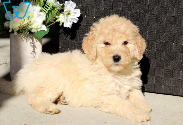 Diamond Goldendoodle