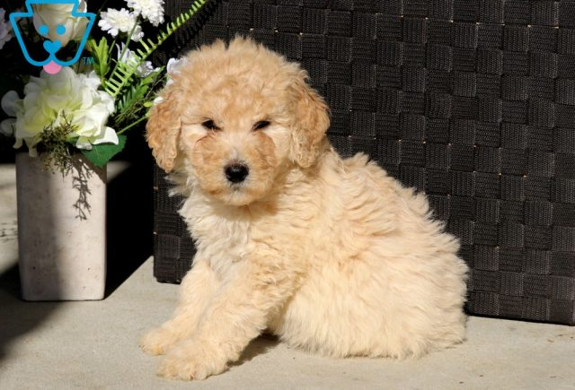 Diamond Goldendoodle2