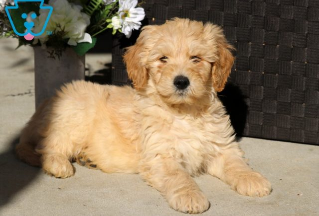Dobby Goldendoodle
