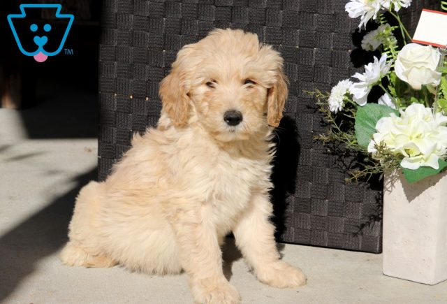 Dobby Goldendoodle2