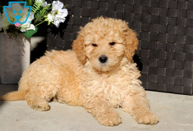 Dove Goldendoodle