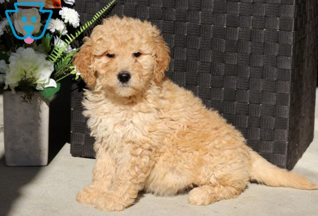 Dove Goldendoodle2