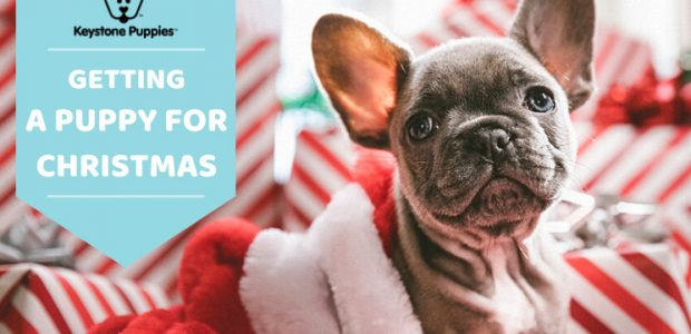 Everything to Know About Giving & Getting a Puppy for Christmas
