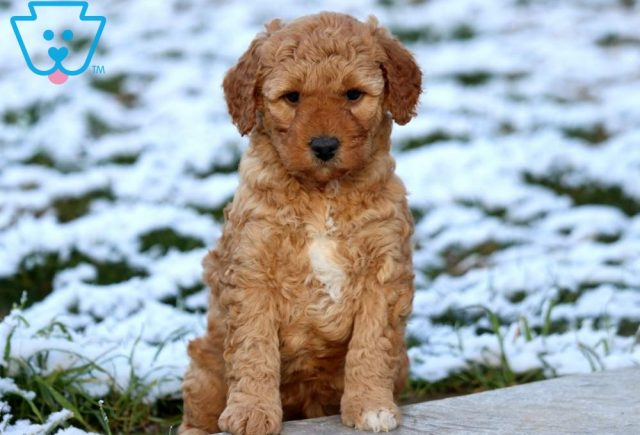 Breeze Mini Labradoodle