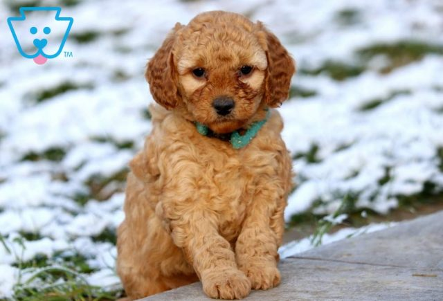 Buffy Mini Labradoodle