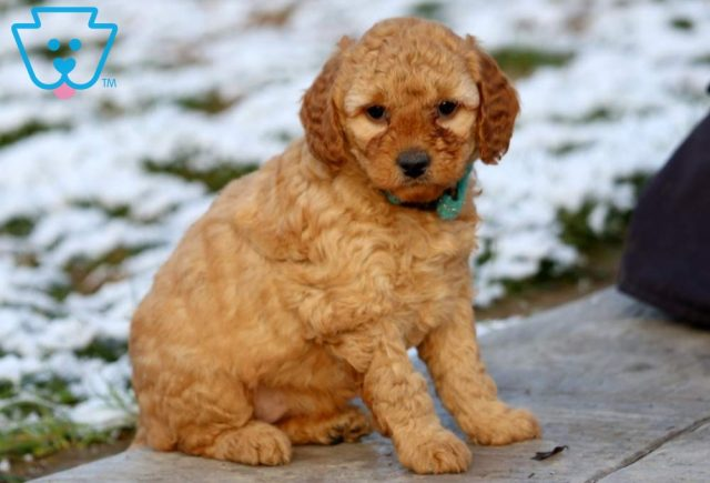 Buffy Mini Labradoodle2