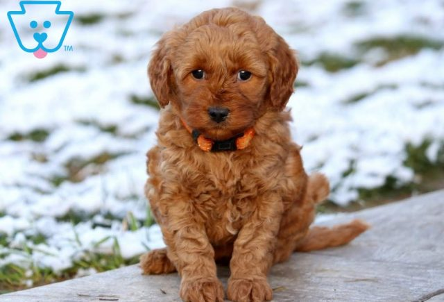 Butterfly Mini Labradoodle