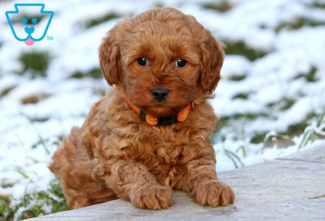 Butterfly Mini Labradoodle2