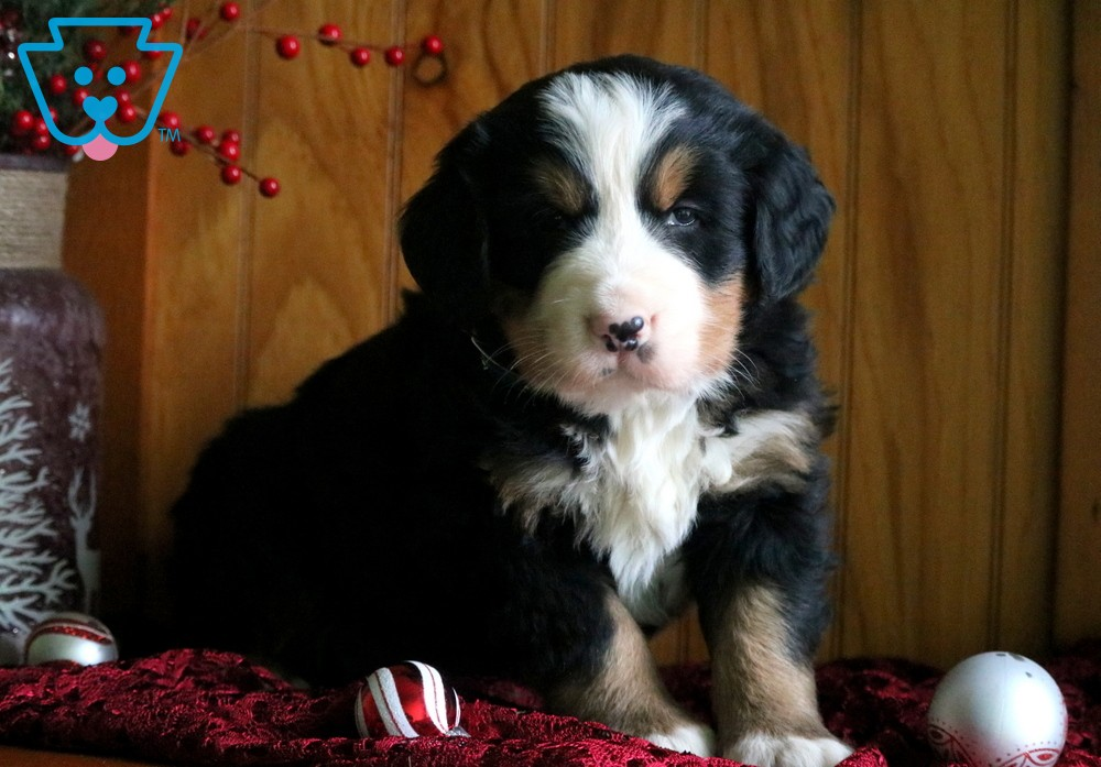 King Bernese Mountain Dog Puppy For Sale Keystone Puppies