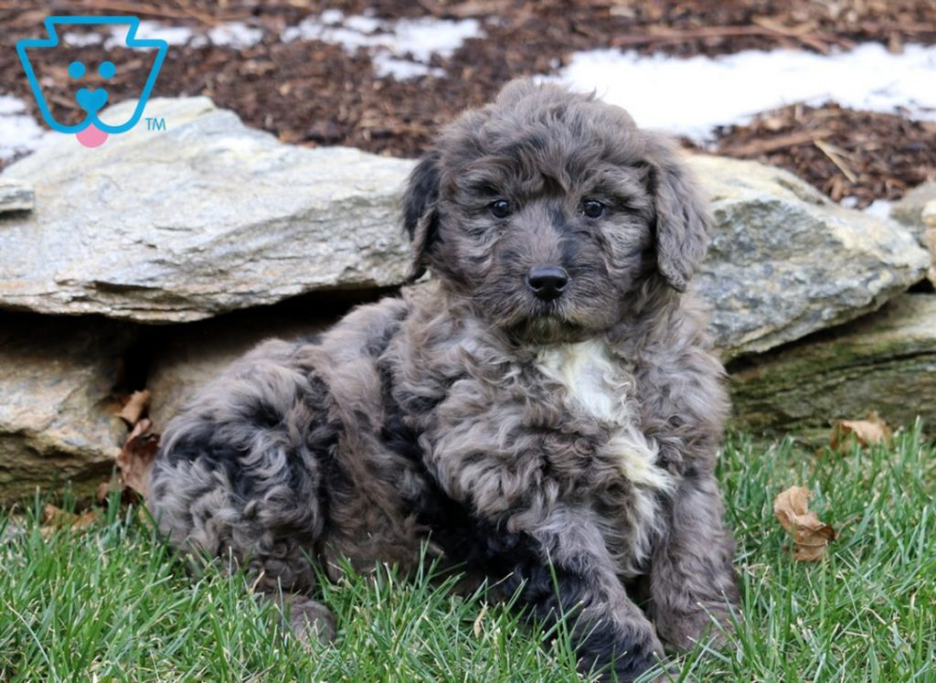 puppies-for-sale