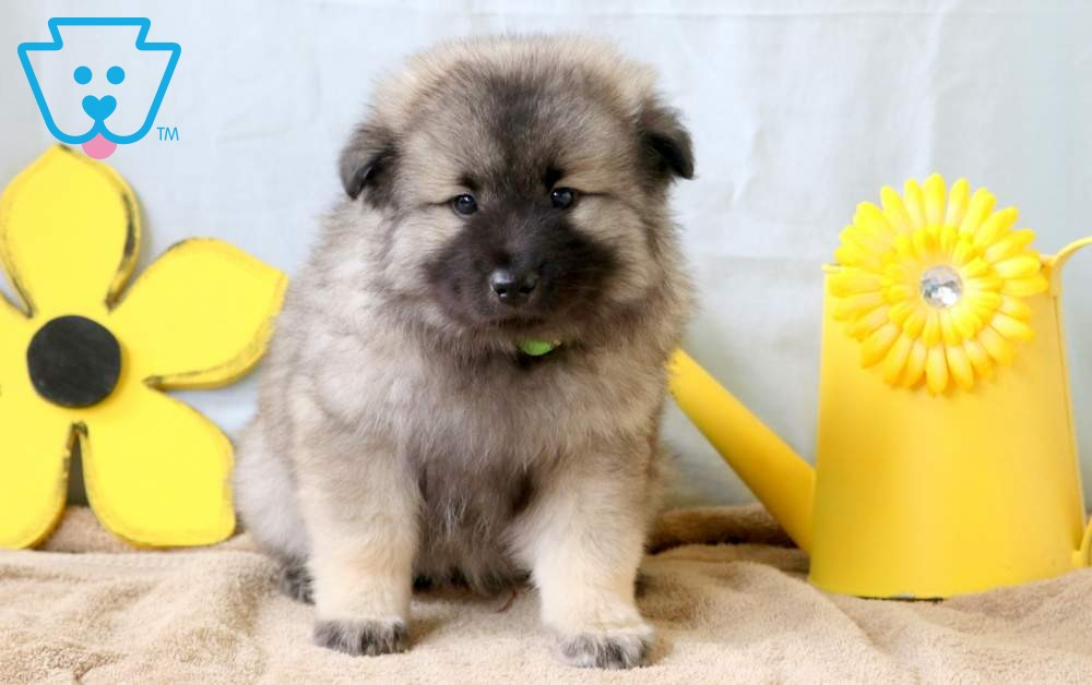 Annie | Keeshond Puppy For Sale | Keystone Puppies