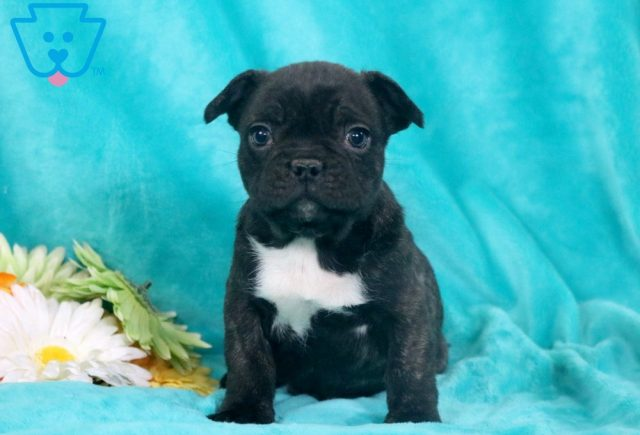 Clyde French Bulldog