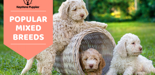 Most Popular Mixed Dog Breeds You'll Love