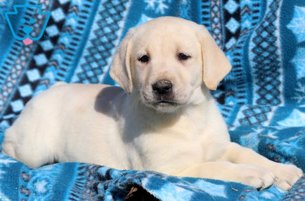 Buy Yellow Lab Puppies For Sale In Montana USA