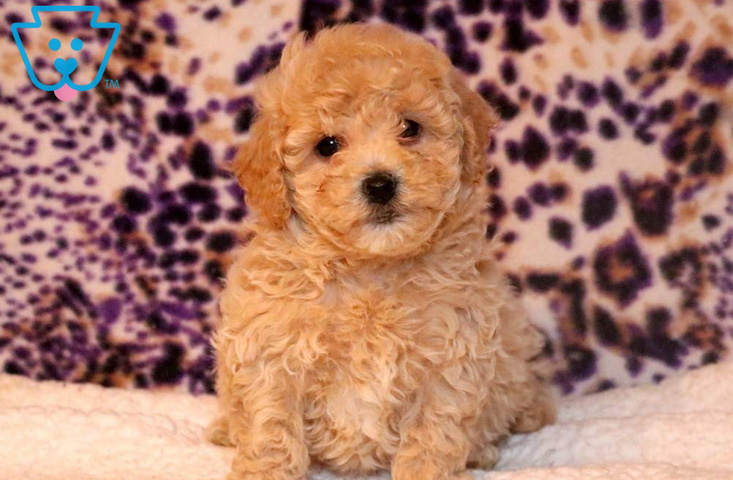 Most popular mixed breed, the Bichpoo