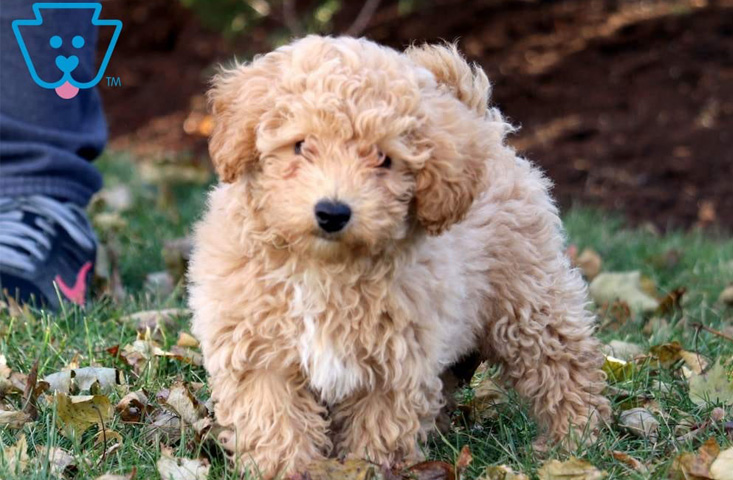 Bichpoo puppies for sale