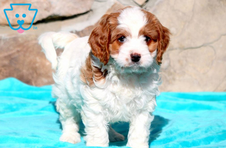 Spotted hybrid puppy for sale
