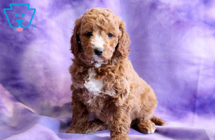 Blonde Mixed Breed Puppy for Sale in PA