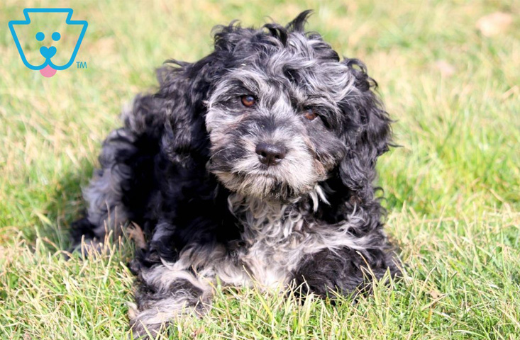 Tricolor cockapoo puppy available for sale