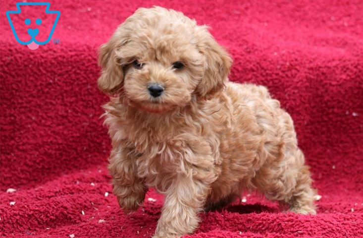 Blonde Cockapoo puppy for sale in PA