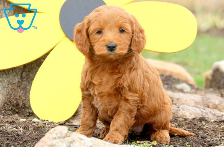 Mini goldendoodle puppy in PA