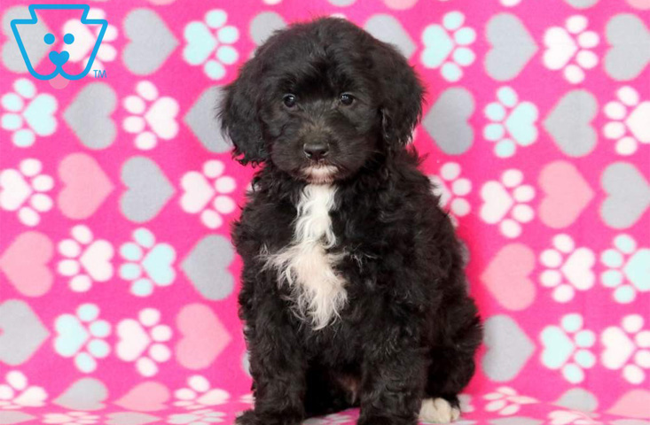 Black Mini Goldendoodle puppy for sale in PA