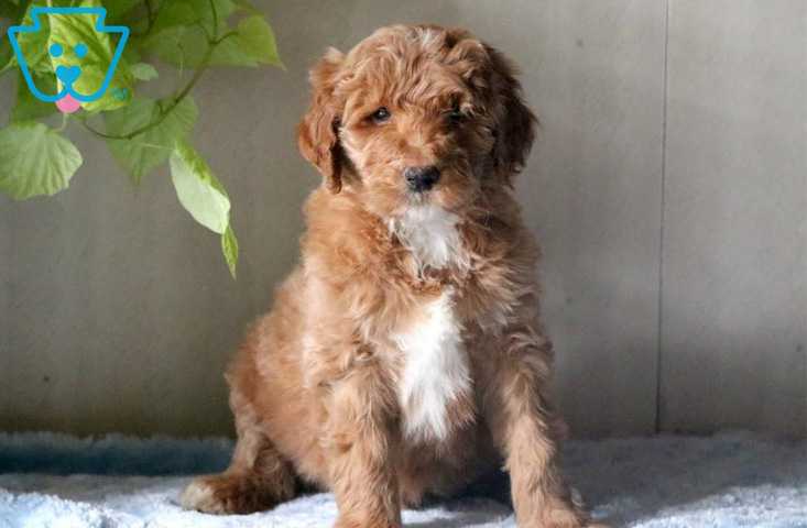 White and tan mini labradoodle for sale
