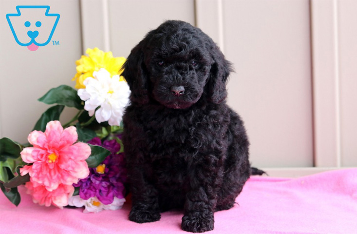 Labrador and Poodle mixed breed puppy