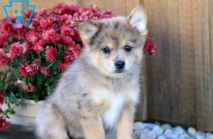 Tan Pomsky puppy for sale in PA