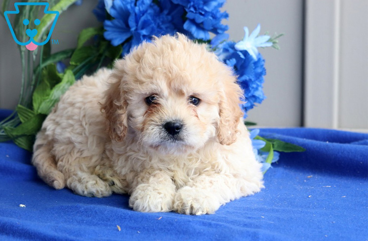 Crossbred dog between Cavalier King Charles Spaniel and Bichon Frise